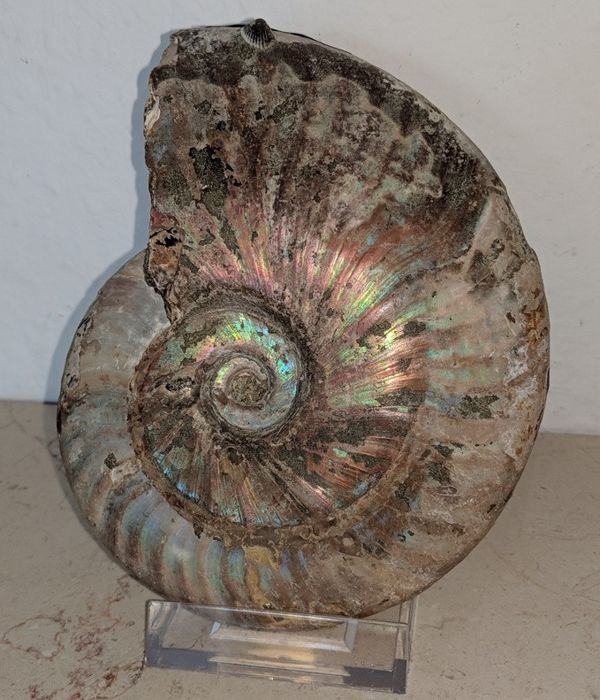 Ammonite Aioloceras sp. with stand - 145 x 110 x 38 mm - 751 g