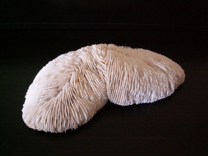 Large twin-crowned Mushroom Coral - Heliofungia sp. - 23 x 12cm