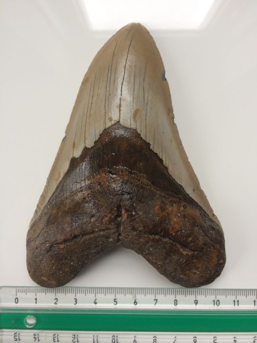 Huge fossil shark tooth - Carcharocles megalodon - 13.6 cm (5.35 inch)