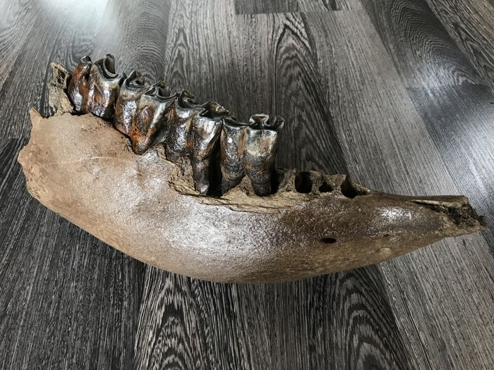 Woolly Rhinoceros - Mandible - Coelodonta antiquitatis - 15×12×34 cm
