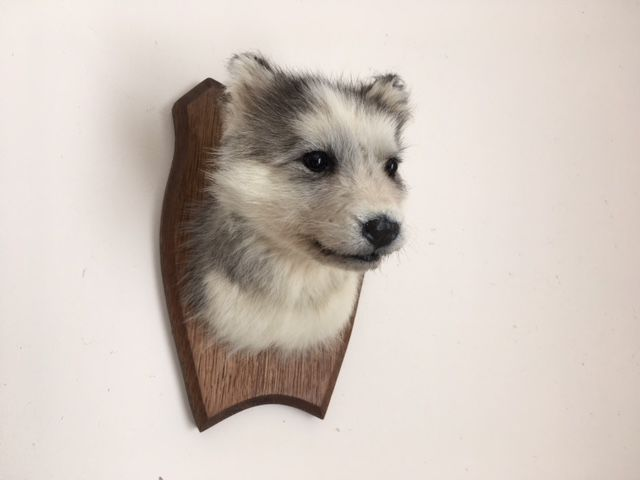 unusual taxidermy - husky puppy head-mount, on carved shield
