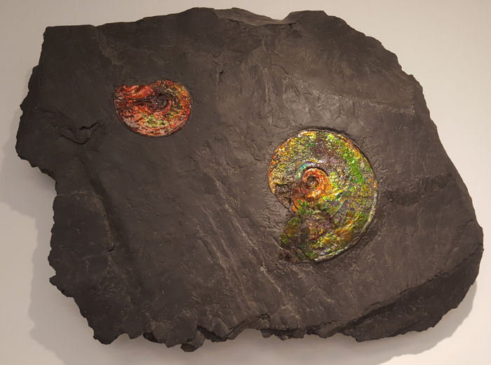 Two Colourful Canadian Ammonites in Natural Rock Matrix