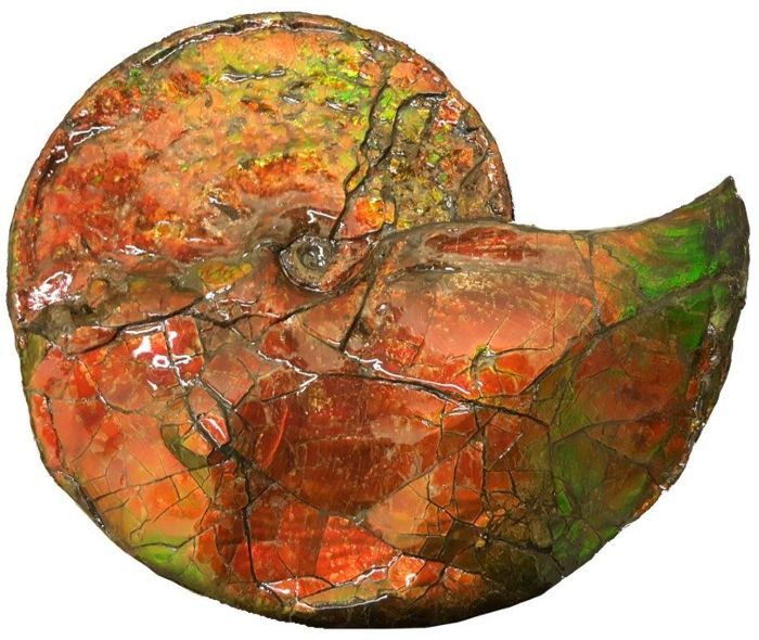 Colourful Canadian Ammonite from Korite Mine
