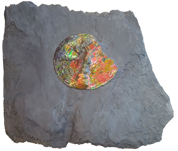 Colourful Canadian Ammonite in Natural Rock Matrix
