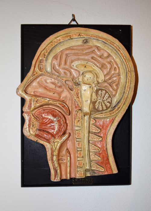 Antique Anatomical Cross Section Of The Human Head Made By M Prins
