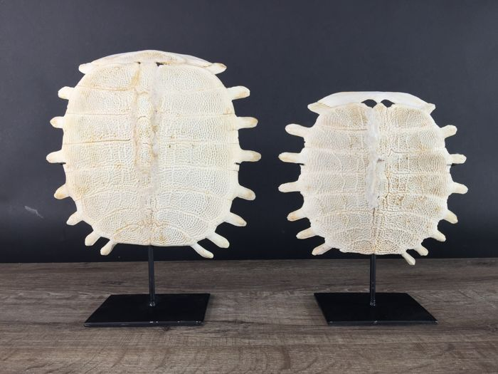 Fine pair of Chinese Softshell Turtles - carapace skeleton, with stand - Pelodiscus sinensis