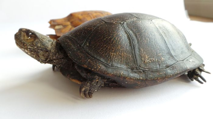 Taxidermy - Forest Hinge-back Tortoise full carapace, with vintage mounted Blanding's Turtle - Kinixys erosa and  Emydoidea blandingii - 13 and 18cm  (2)