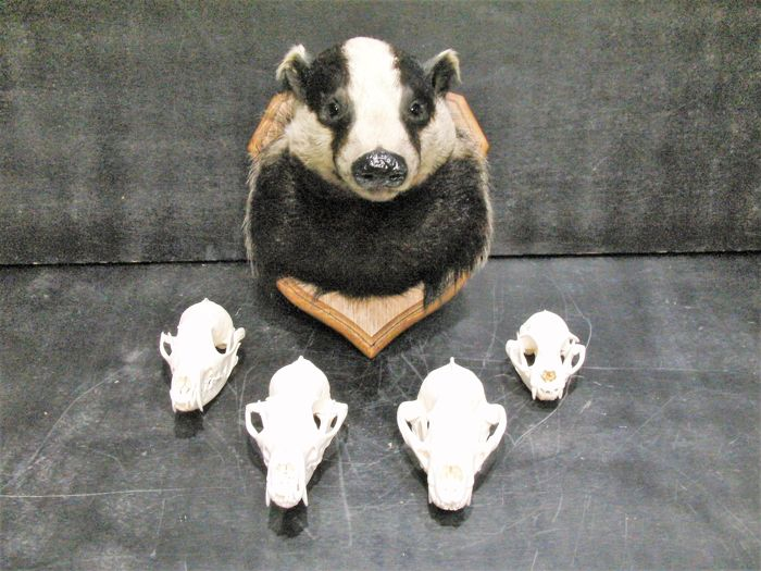 Taxidermy - Badger head-mount, with skulls of Red Fox, Badger and Cat - Meles, Vulpes and Felis - to 28.5cm  (5)