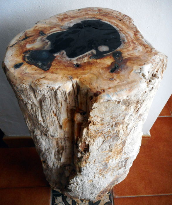 Mini side table: Log polished petrified wood -  56 x 17 cm - 22 kg