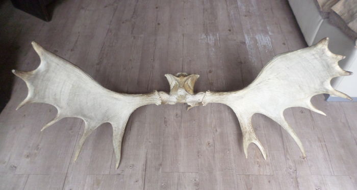 Vintage, Large Palmate North American Moose Antlers, on part of the skull - Alces alces - 107.50 cm