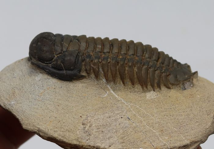 Beautiful fossil trilobite Crotalocephalus gibbus - 7.1 cm - In perfect flat position