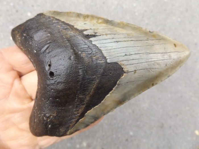 Fossil Shark Tooth - Carcharocles megalodon - 12.9 cm