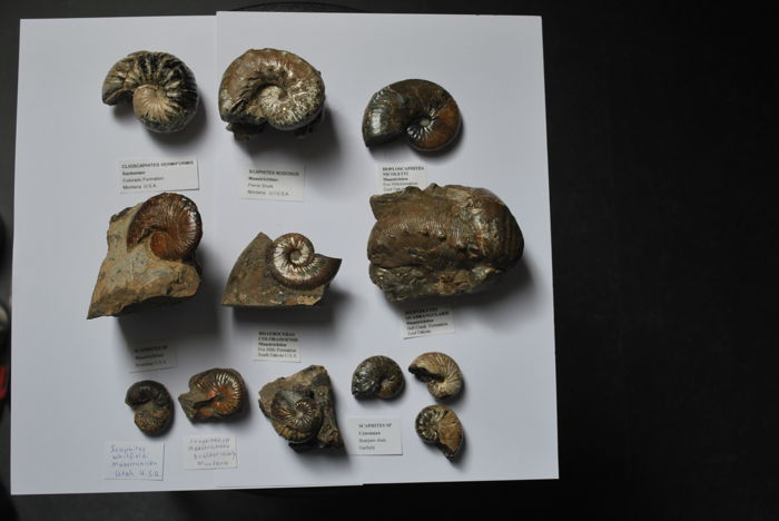 Collection of Upper Cretaceous North American Ammonites - various, named - to 65mm  (12)
