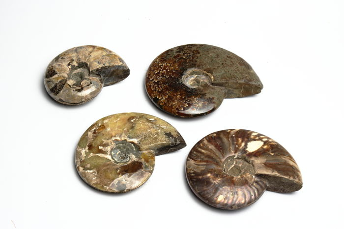 Set of fine polished Ammonites - Aioloceras - 12 to 17 cm - 2696 g (4)