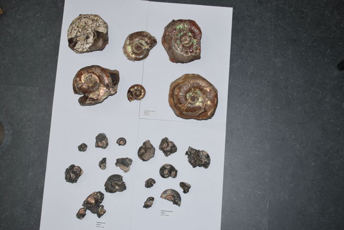 A collection of middle Jurassic Polish and Lithuanian ammonites. -to 110 mm. (24).