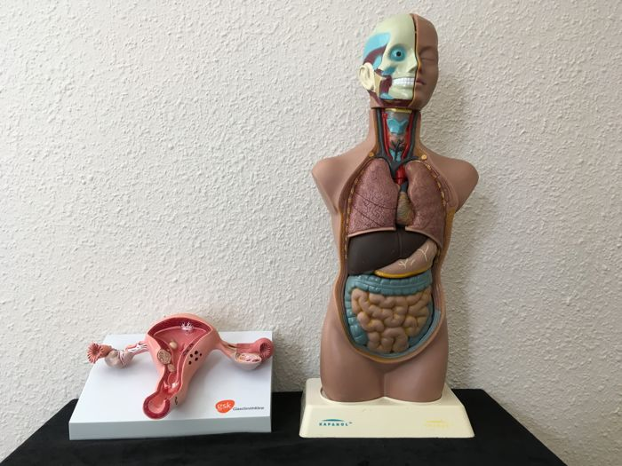 Lot Of 2 Anatomical Models Of The Uterus And Torso Catawiki