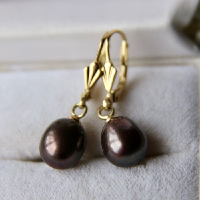 Earrings of 14kt. Yellow gold with dark brown grey color Akoya drop pearls approx. 8.9x8mm good luster.
