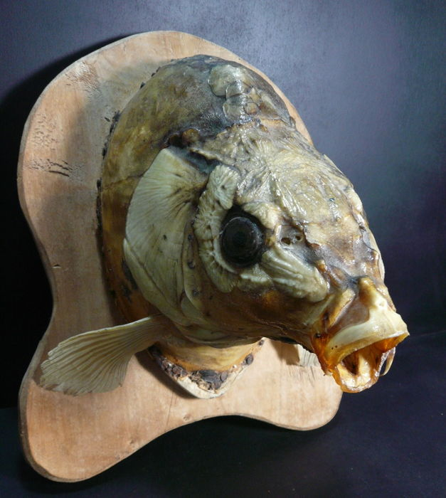 Wonderful impressive large stuffed head of a carp