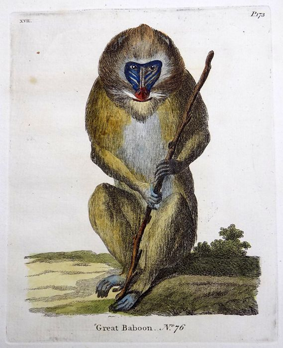Thomas Pennant (1726-1798) 2 x engravings - The Great Baboon - Large paper edition
