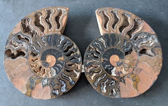 Large Ammonite halves - Aioloceras sp. - 190 and 188 mm - 1.2 kg  (2)