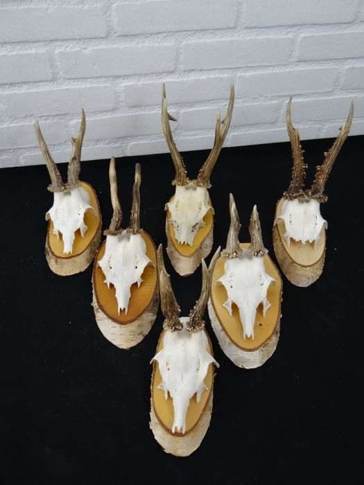 collection of Roebuck Trophies on shields - Capreolus capreolus - various sizes  (6)
