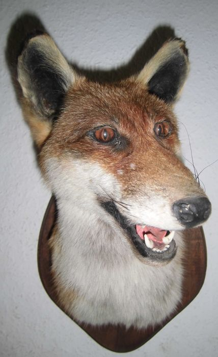 Taxidermy - Red Fox Mask on wall plaque - Vulpes vulpes - 21 x 30 cm