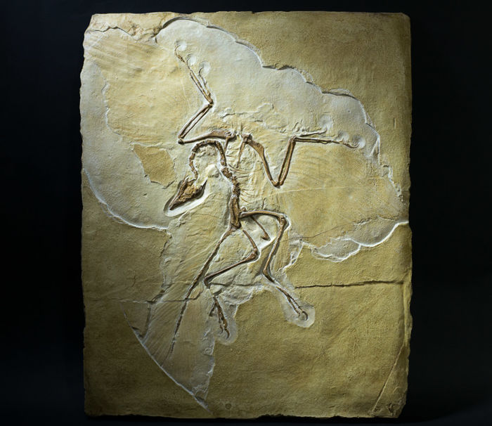 Replica - Archaeopteryx lithographica - feathered flying Dinosaur - 42 cm