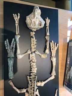 Complete skeleton of a Psittacosaurus - 120 cm - museum condition