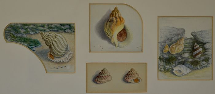 English school. (19th century) - Four studies of seashells
