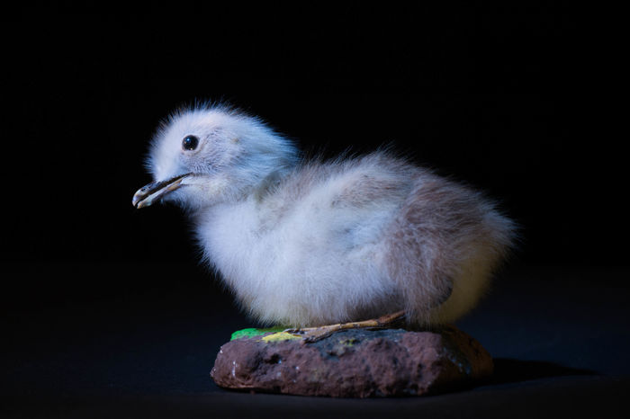Seagull Chick Full-body-montage - Larinae sp. - 12cm