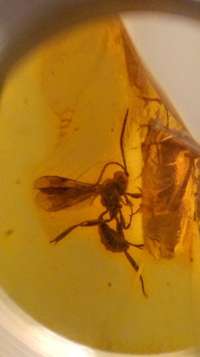 Baltic Amber with Wasp inclusion - 32mm