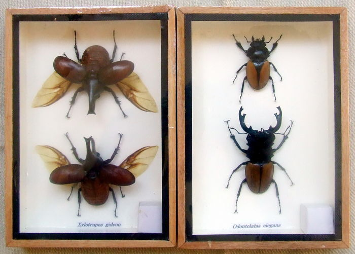 Stag and Rhinoceros Beetles, male and female in display cases - Xylotrupes and Odontolabis sp. - 17,5 x 12,5 cm - 2