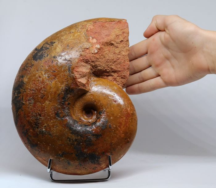Exceptional fossil ammonite Pachylytoceras dilucidum - Very colourful - 22.5 cm - 2.7 kg - Complete shell - Two-sided - 100% original