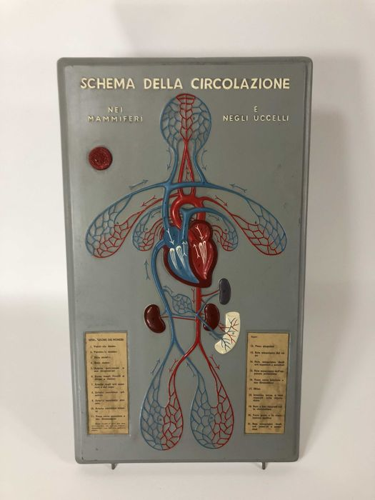 Paravia Educational Plate - Circulatory system in Birds and Mammals