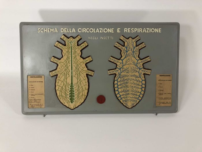 Paravia Educational Plate - Circulatory system in Insects