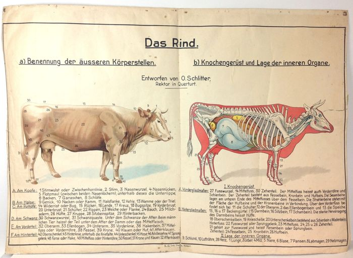Very Large Antique German School Poster Of The Anatomy Of The Cow