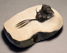 Outstanding spiny trilobite - Walliserops trifurcatus - 6.5 x 2.5 cm - Finely detailed - 9 x 6.5 cm matrix