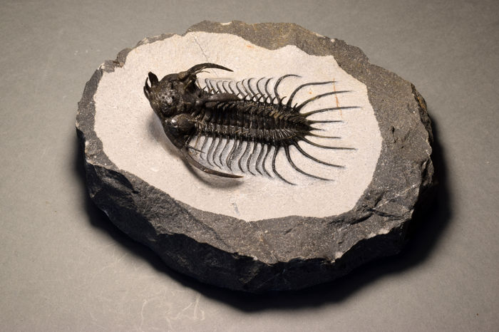Very rare trilobite - Quadrops flexuosa - 8 x 5.5 cm - Finely detailed - 11 x 11 cm matrix