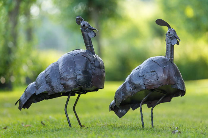 Two adult guinea fowls