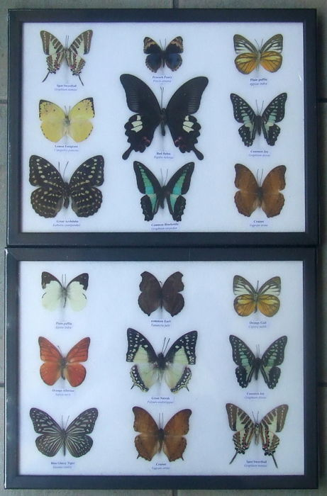 Fine collection of Exotic Butterflies - various named species - 32 x 25cm  (2).