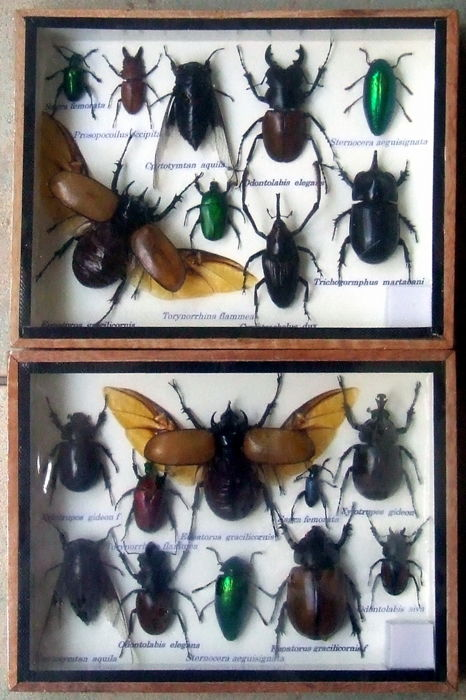 Exotic Insects in display cases - various named species - 20 x 15 cm  (2).