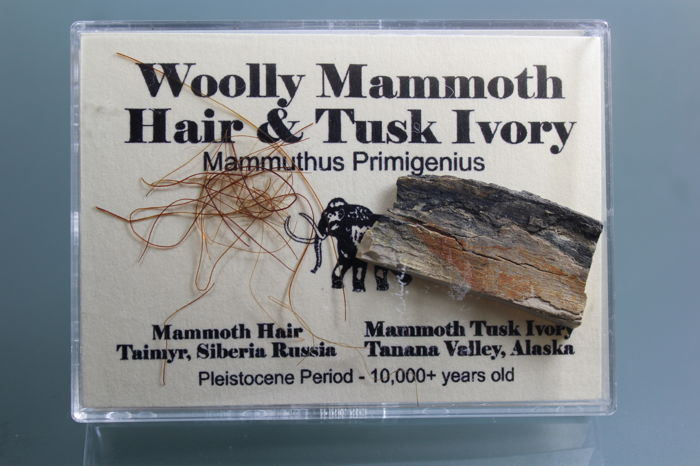 Woolly Mammoth Hair and Tusk fragment, cased -  Mammuthus primigenius - 9,5 x 7,8 cm