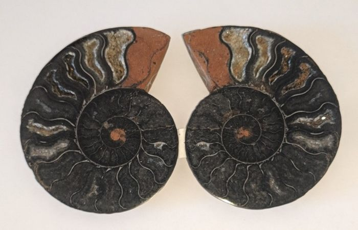 Cut and polished Ammonite halves - Aioloceras sp. - 98 and 96 mm - 198 gm  (2)