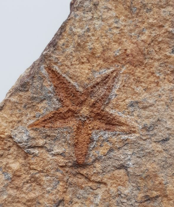 Fossil Starfish on matrix - Asteroidea sp. - 26 x 25mm - 347gm
