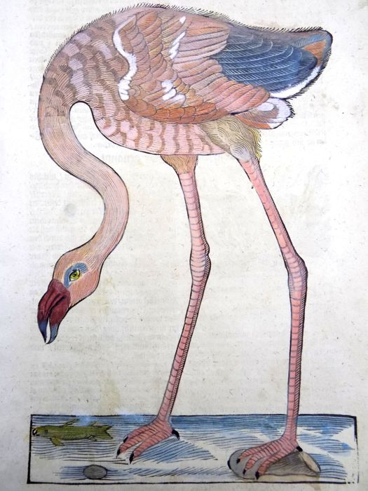 Conrad Gesner (1516-1565) - Flamingo Mythological  - Phoenix - 2 woodcuts with hand color - 1669