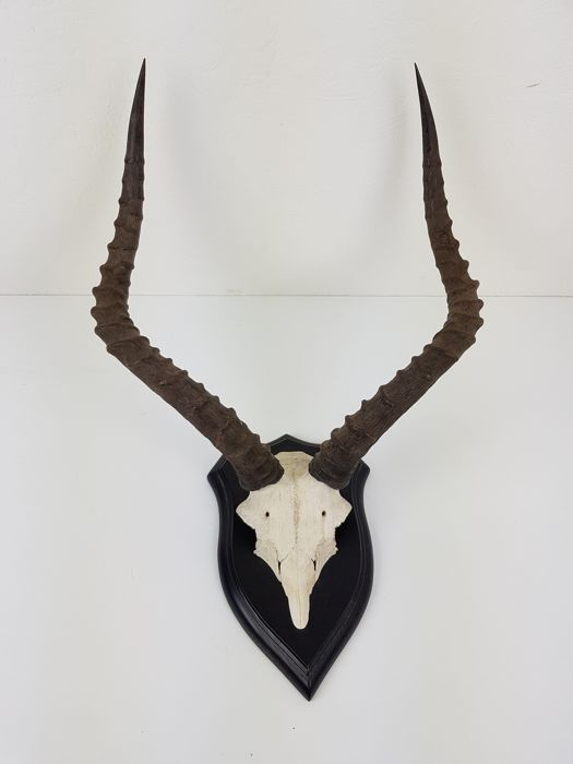 Impala Trophy on carved shield - Aepyceros melampus - 50 x 41 x 34cm