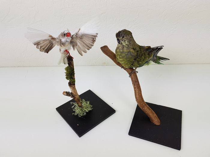 Zebra Finch and Red-rumped, or Grass Parrot  Full-body-montage -  Taeniopygia guttata and Psephotus haematonotusd  - 18 and 21cm - 2