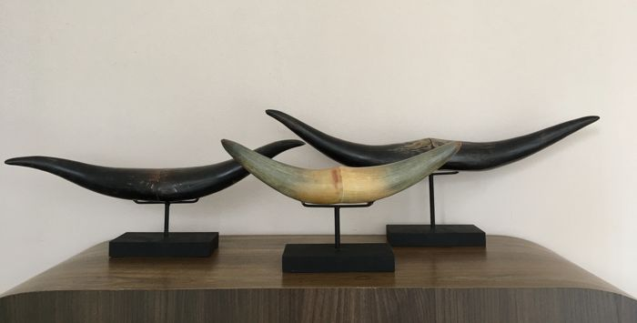 Polished Buffalo Horns with custom stands - Bubalus bubalis - 15 to 52cm - 3