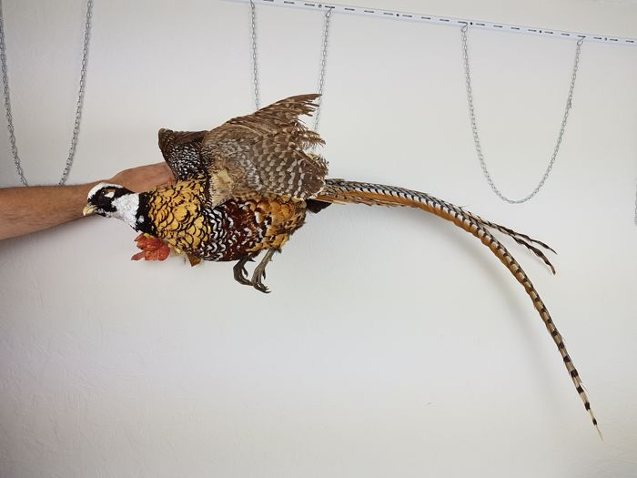 Reeve's Pheasant Full-body-montage - Syrmaticus reevesii - 160 x 40 x /7cm5