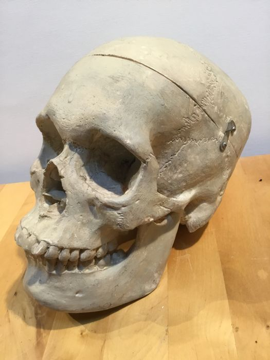 Nicely detailed skull for a doctor or biologist